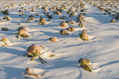 Field unharvested winter cabbage. Clean the Cabbage field under snow Stock Images