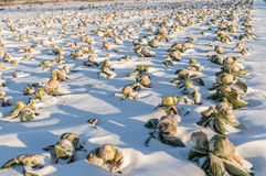 Field unharvested winter cabbage. Clean the Cabbage field under snow Royalty Free Stock Photo