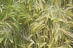 Field unripe barley with a single ears of oats Royalty Free Stock Image