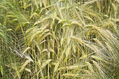 Field unripe barley with a single ears of oats Royalty Free Stock Photography