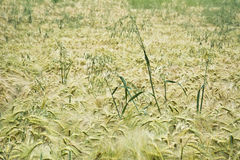 Field unripe barley with a single ears of oats Royalty Free Stock Photos