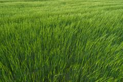 Field of unripe green wheat with ears. Beautiful field, great design stock photos