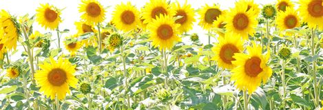 Sunflowers or hellanthus in summer Stock Photography