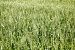 Field of unripe wheat Stock Photo