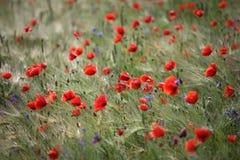 field vallmon Royaltyfria Bilder