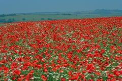 field vallmon Royaltyfri Bild