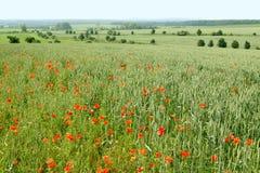 field vallmon Royaltyfri Fotografi