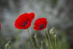 field vallmor Arkivfoto
