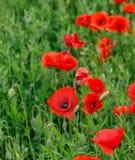 field vallmor Royaltyfria Bilder