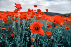 field vallmor Royaltyfri Foto
