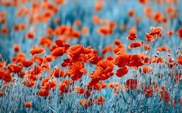 field vallmor Royaltyfri Bild