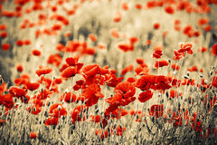 field vallmor Royaltyfri Fotografi