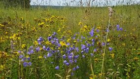 Field with a variety of grass and flowers. Spikelets, yellow flower of Hypericum, flowers bells in summer day. Nature walk. Field. Flowers stock footage