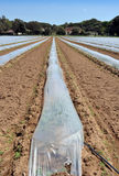 Field of vegetable crops in rows covered with polythene cloches protection Royalty Free Stock Images