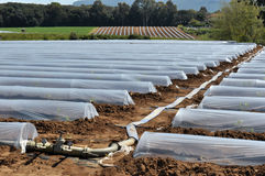 Field of vegetable crops in rows covered with polythene cloches protection Stock Photo