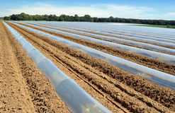 Field of vegetable crops in rows covered with polythene cloches protection Stock Photos
