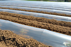 Field of vegetable crops in rows covered with polythene cloches protection Royalty Free Stock Photos