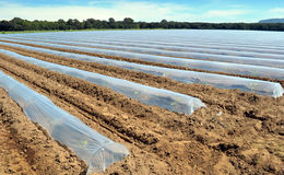 Field of vegetable crops in rows covered with polythene cloches protection Royalty Free Stock Photo