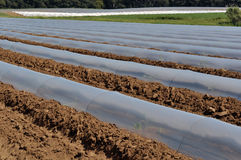 Field of vegetable crops in rows covered with polythene cloches protection Stock Photography