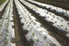 Field of the vegetable seedlings. In modern farm Royalty Free Stock Photo