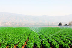Field of Vegetables. Lush field of green vegetables being irrigated Royalty Free Stock Image