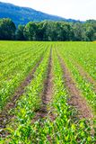 Field of vegetables on an agriculture farm. Green fresh vegetables on an agriculture field, industry, market, gardening, colourful, cultivation, organic stock photography