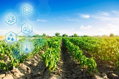 Field of vegetables on a sunny day. Fresh green greens. Innovations and developments in agriculture. Scientific work and selection. Crop forecasting and stock images