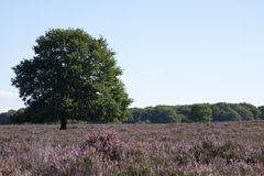 Field on the veluwe Stock Images