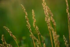 field vete Fotografering för Bildbyråer