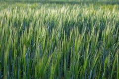 field vetebarn mot bakgrund field blåa oklarheter för grön vitt wispy natursky för gräs Arkivfoto