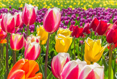 Field of vibrant colorful tulips in Flevoland Royalty Free Stock Photo
