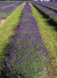 A field of vibrant lavender stock image