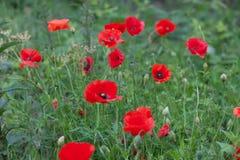 Field of vibrant wild red poppy flowers. Field of wild red poppy flowers Stock Image