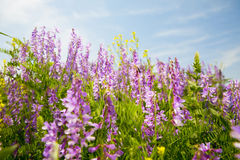 Field of vicia cracca Royalty Free Stock Photos