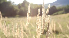 Field. View with seeds grass and crickets singing stock video