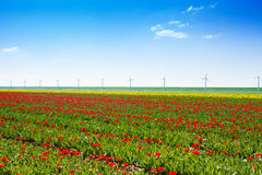 Field view of tulip flowers rows and windmills Stock Photos