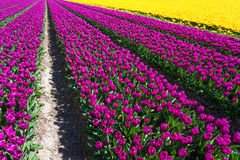 Field view of yellow and purple tulip rows Stock Photography
