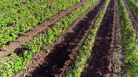 Field of vine. Aerial view of a field of vines stock footage