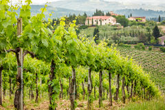 Field of vines on a background of a hacienda in Tuscany Royalty Free Stock Photography