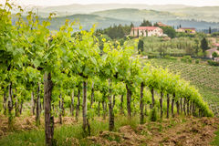 Field of vines in the countryside of Tuscany Stock Image