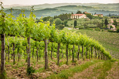 Field of vines in the countryside of Tuscany Royalty Free Stock Images