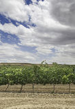 Field of vines to grow. Detail of a vineyard, with grapes from La Rioja Royalty Free Stock Images