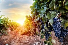 Field of vineyard full of grapes during sunrise. Field of vineyard full of red grapes during sunrise royalty free stock image