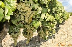 Field of vineyards Stock Photos