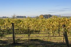 Field of vineyards Willamette valley Oregon. Royalty Free Stock Photography