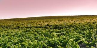 field vinrankan Arkivfoto