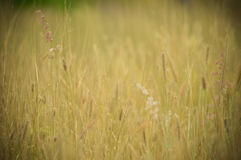 Field Vintage yellow grass Royalty Free Stock Photos