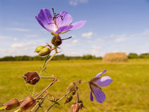 Field violet flowers. On a background of a field with a haystack Stock Photo