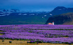 Field of violet flowers Royalty Free Stock Images