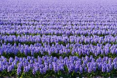 Field of violet flowers - Hyacint Stock Image